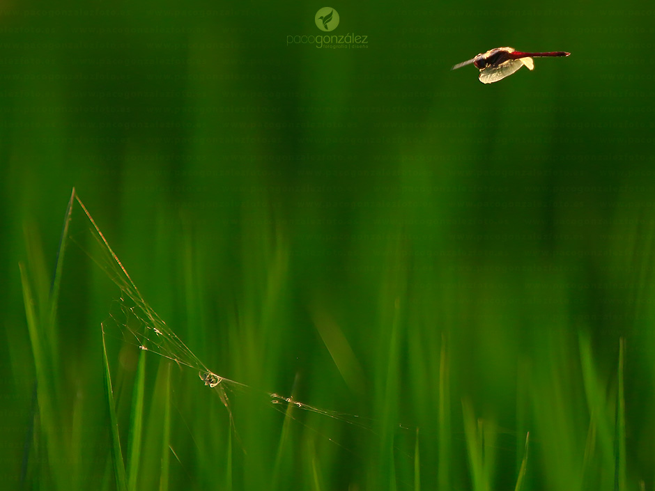 Dragonfly & rice